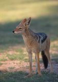 Alert Black-backed Jackal (Canis mesomelas) Royalty Free Stock Images