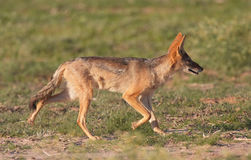 Alert Black-backed Jackal (Canis mesomelas) Stock Photo