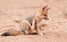 Alert Black-backed Jackal (Canis mesomelas) Stock Images