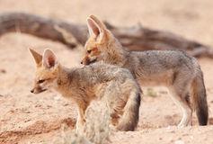 Alert Black-backed Jackal (Canis mesomelas) Royalty Free Stock Photography