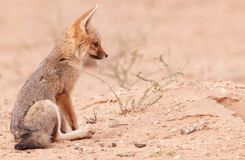 Alert Black-backed Jackal (Canis mesomelas) Royalty Free Stock Photos