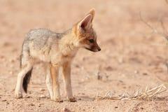 Alert Black-backed Jackal (Canis mesomelas) Stock Photography
