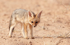 Alert Black-backed Jackal (Canis mesomelas) Stock Image