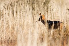 Alert black backed jackal hunting for food. In Kgalagadi Transfrontier Park Royalty Free Stock Photography