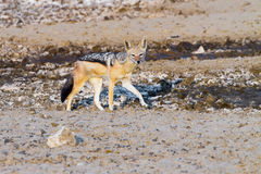 An alert Black-backed Jackal photographed near the Nossob camp in the Kgalagadi Transfrontier Park Stock Photography