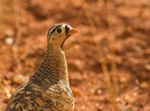 An alert Black-faced Sandgrouse Stock Images