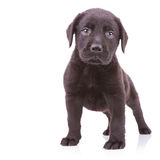 Alert black labrador retriever standing Stock Image