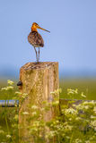 Alert Black-tailed Godwit on post Royalty Free Stock Images