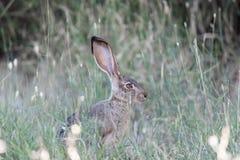 Alert Black-tailed Jackrabbit Lepus californicus Camouflaged. Stock Photos
