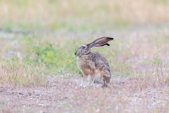 Alert Black-tailed Jackrabbit Lepus californicus. Royalty Free Stock Image