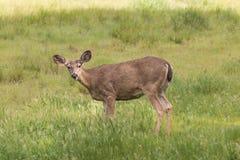 Alert Blacktail Deer Doe Royalty Free Stock Image