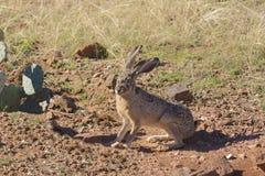Alert Blacktail Jackrabbit. An alert blackmail jackrabbit in the arizona desert Royalty Free Stock Images