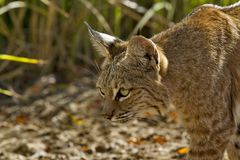 Alert bobcat stalks prey with patient stealth. Bobcat is predator stalking prey with vigilant stealth at Sweetwater Wetlands in Tucson, Arizona.  Closeup Royalty Free Stock Photography