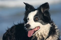 Alert Border Collie. Waiting for the next command stock image