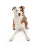 Alert Border Collie Dog Laying Stock Photos