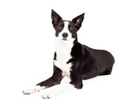 Alert Border Collie Mix Breed Dog Laying Royalty Free Stock Images