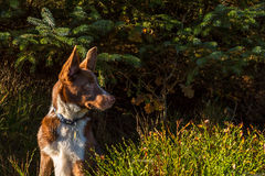 Alert Border Collie Stock Photo