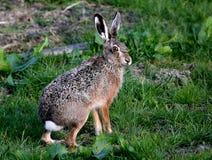 Alert Brown Hare Stock Image