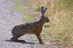 Alert brown hare (Lepus europaeus). Royalty Free Stock Photo
