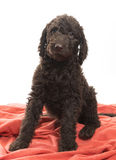 Brown Labradoodle Watching Stock Images