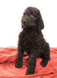 Alert Brown Labradoodle Royalty Free Stock Photos