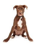 Alert Brown and White Puppy Sitting Royalty Free Stock Photo
