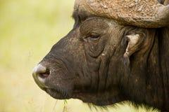 Alert buffalo Stock Photo