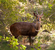 An alert Bushbuck. The Bushbuck (Tragelaphus scriptus) is an inhabitant of the thick jungle, hunters consider it a dangerous antelope for ambushing it´s Stock Photo
