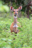 Alert Bushbuck in Mole National Park, Ghana Stock Photos