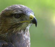 Alert Buzzard. This magnificent raptor was photographed in the UK Royalty Free Stock Photography