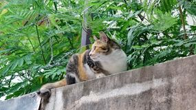 Calico cat on a wall. Alert calico cat with perked up ears intently watching over her territory stock photo