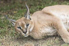 An alert caracal lynx lifts its head while resting. In the shade of a large tree Royalty Free Stock Images