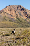 Alert Caribou Bull Royalty Free Stock Photography