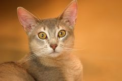 Alert Cat. Cat facing camera with curious stare royalty free stock image