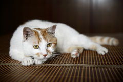 Alert cat Royalty Free Stock Photography