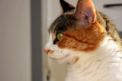 Calico Cat. Calico house cat with sun at her back royalty free stock photography