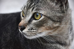 Alert Cat Looking Back Royalty Free Stock Photo