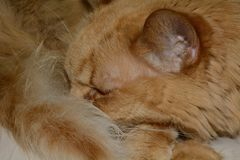 Alert Cat nap. Close up of orange cat napping with alert ear on watch Stock Images