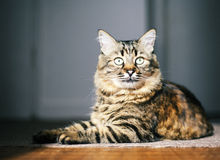 Alert cat. Tabby cat ready for hunting Royalty Free Stock Photo