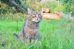 Alert cat. An alert cat waiting for food Stock Images