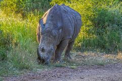 Alert and charging male bull white Rhino or Rhinoceros in a game reserve during safari in South Africa stock photo