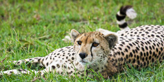 Alert Cheetah Royalty Free Stock Photos