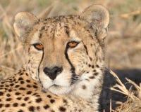 alert cheetah Arkivfoton