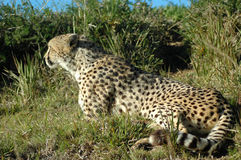 alert cheetah Royaltyfria Bilder