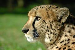 alert cheetah 库存照片