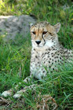 Alert Cheetah royalty free stock images