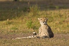 Alert cheetah. Cheetah lying in the savanna staring at the camera stock photos