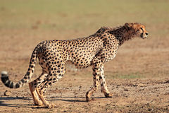 Alert Cheetah Royalty Free Stock Image
