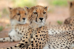 Alert Cheetah Royalty Free Stock Photography