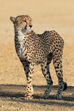 Alert Cheetah Stock Photos
